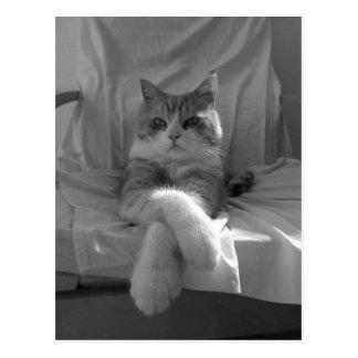 Black White Tabby Cat photo Postcard