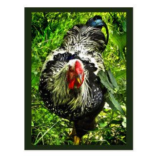 Black White Wyandotte Rooster Bird Green Postcard