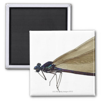 Black-winged damselfly 2 inch square magnet