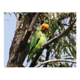 Black-winged Lovebird Postcard