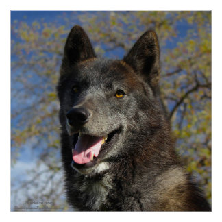 Black Wolf 24 x 24 poster
