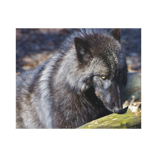 Black Wolf Canvas Prints