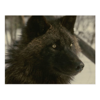 Black Wolf Postcard