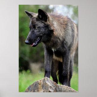 Black Wolf Poster