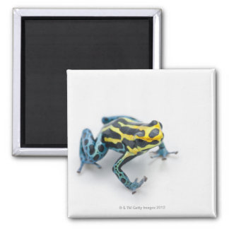 Black, Yellow and Blue Poison Dart Frog Magnet