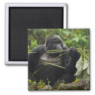 Blackback Mountain Gorilla 2 Inch Square Magnet