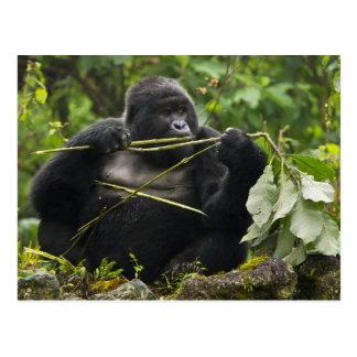 Blackback Mountain Gorilla Postcard