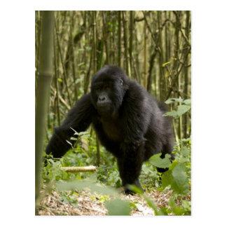 Blackback que camina a través del bosque de bambú postal