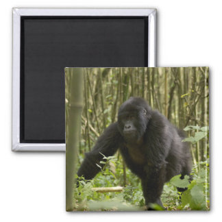 Blackback walking through bamboo forest 2 inch square magnet