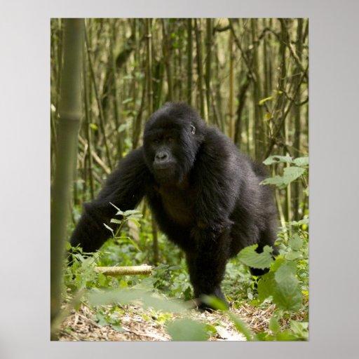 Blackback walking through bamboo forest poster
