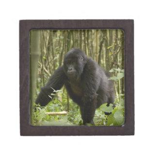 Blackback walking through bamboo forest premium jewelry boxes