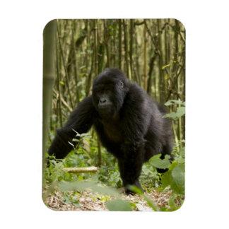Blackback walking through bamboo forest rectangular photo magnet