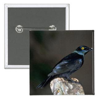 Blackbellied Glossy Starling Pin