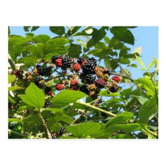 Blackberries bunch postcard