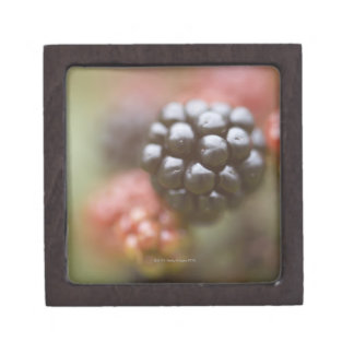 Blackberries close up. premium jewelry box
