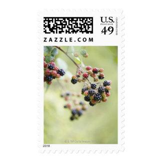 Blackberries growing outdoors. stamps