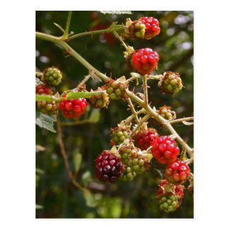 Blackberries Postcard