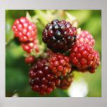 Blackberries Posters