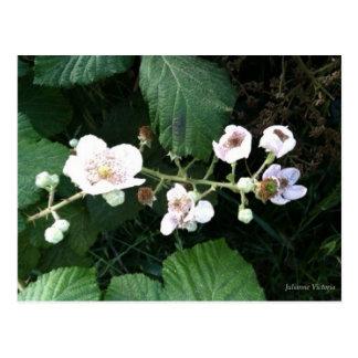 Blackberry Blossoms Postcard