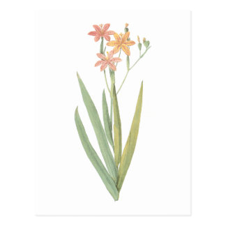 blackberry lily(Belamcanda chinensis) by Redouté Postcard