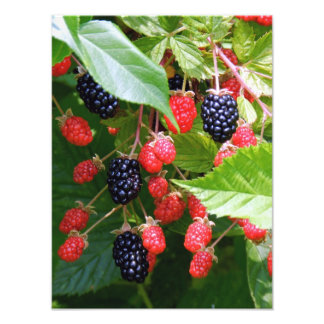Blackberry Patch Photography Photographic Print