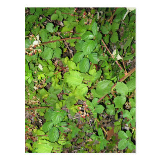 Blackberry vines berries leaves nature photo on postcard