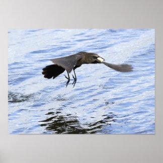Blackbird crow eating food flying Poster