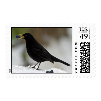 Blackbird eating grapes in snow postage