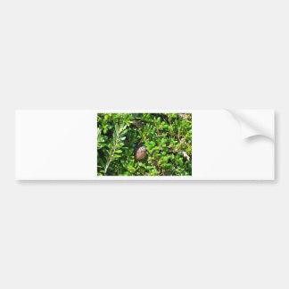 Blackbird in a laurel bush car bumper sticker