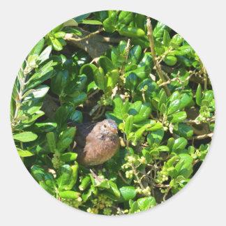 Blackbird in a laurel bush classic round sticker