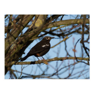 Blackbird Postcard