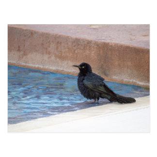 Blackbird taking a bath in the pool postcard