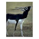 Blackbrush antelope post card