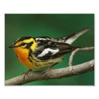 Blackburian Warbler. Photo Print