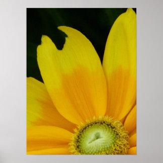 """Blackeyed Susan, Rudbeckia hirta """"Prairie Sun"""" Poster"""