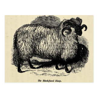 Blackface Sheep Postcard