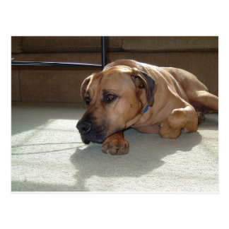 blackmouth cur laying postcard