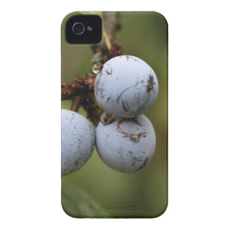 Blackthorn Fruits iPhone 4 Cover