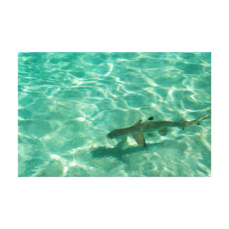 Blacktip reef shark in shallow water canvas print