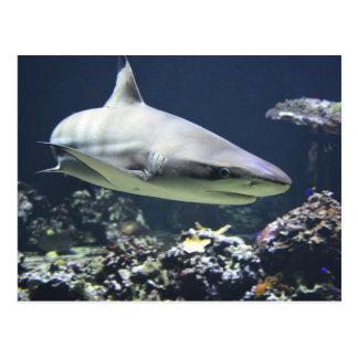 Blacktip Shark Swimming in Coral Postcard