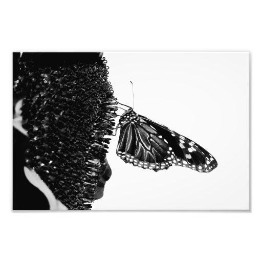 blacq tímido de la mariposa fotografía