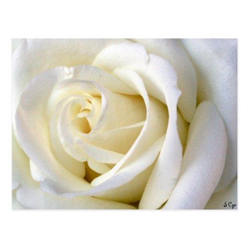 Blanco color de rosa tarjetas postales