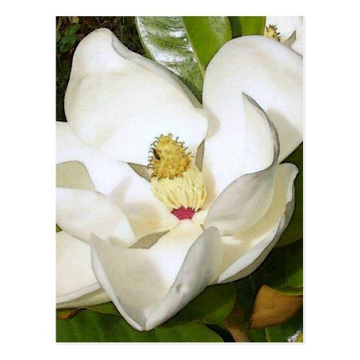 Blanco de la magnolia postales