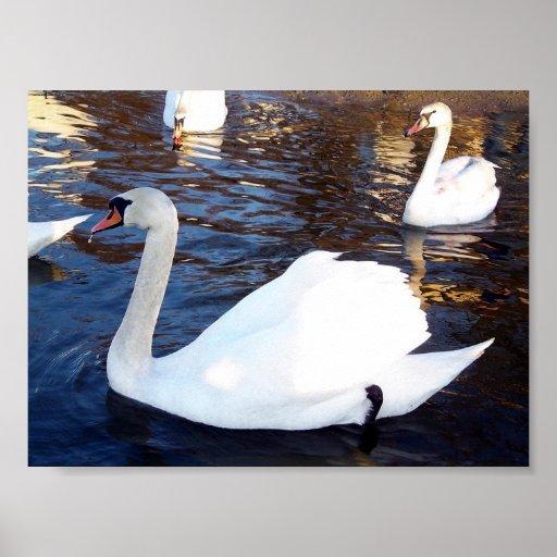 Blanco del cisne posters