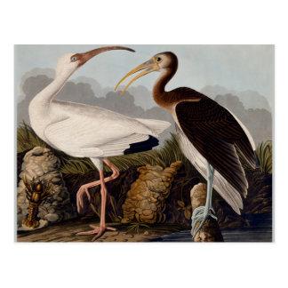 Blanco Ibis de Audubon Tarjetas Postales