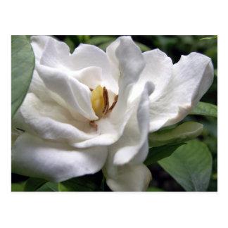 Blanco Petalscape del algodón Postal