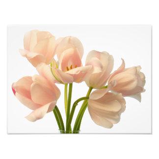 Blanco y fondo de los tulipanes del loro del meloc impresiones fotográficas