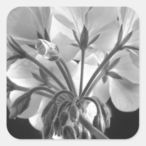 Blanco y negro en curso de la flor del geranio pegatinas cuadradases