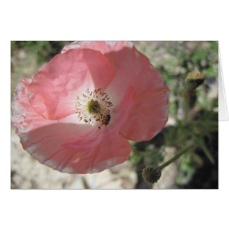 Blank Card, Pale Pink Poppy
