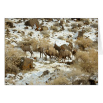 Blank Greeting Card with Big Horned Sheep photo